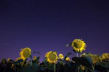 Ayçiçek-yıldız